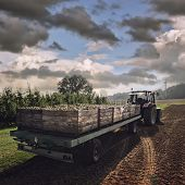 Tractor Carrying Wooden Crates With Pears