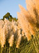 stock photo of pampas grass  - Pampas grass  - JPG