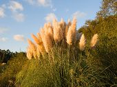 stock photo of pampa  - Pampas grass  - JPG