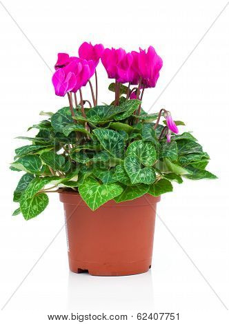 Pink Cyclamen On A White Background.