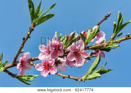 Branches With Peach Flowers Bloom Against The Blue Sky