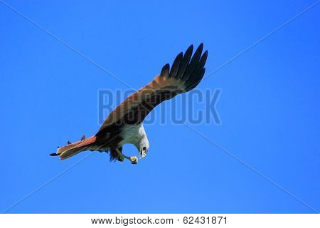 Brahminy Kite Flying, Langkawi Island, Malaysia
