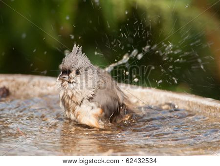Bathing Titmouse