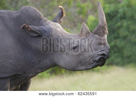 White Rhino With Horn