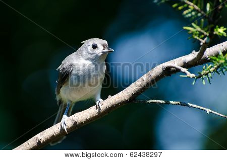 Tufted Titmouse Perched On A Branch
