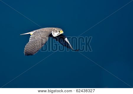 Peregrine Falcon In Flight Over The River Viewed From Above
