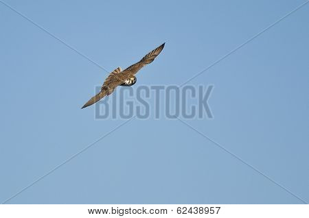 Peregrine Falcon Flying And Making Eye Contact
