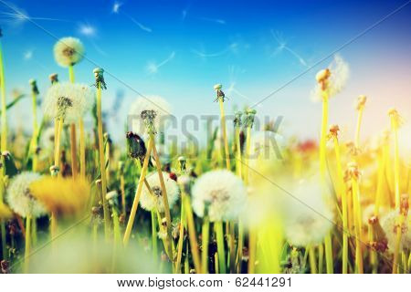 Spring field with flowers, dandelions in fresh grass. Sun shining on blue sky