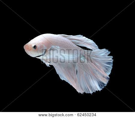 White Siamese Fighting Fish, Betta Fish Isolated On White Background