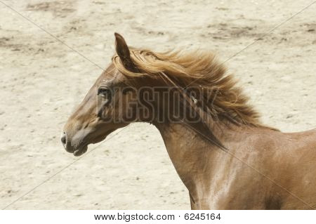 Young Saddlebred Horse