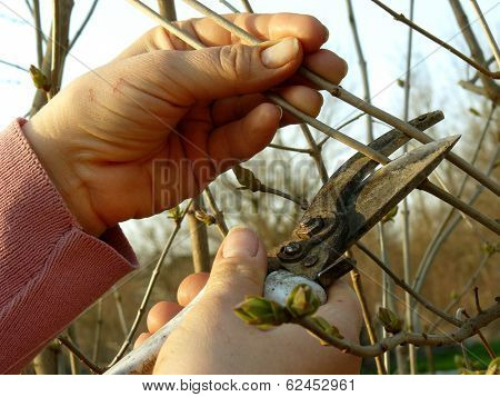 hands pruning tree branches with secateurs