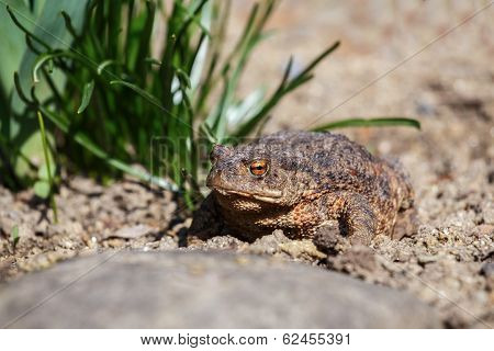 Brown Toad In The Garden