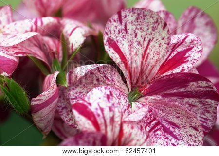 Detail Of Colorful Flowers Geranium