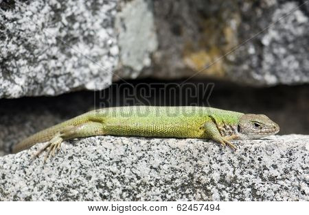 Lean European Green Lizard (lacerta Viridis)