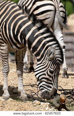 Chapmans Zebra (equus Quagga Chapmani)