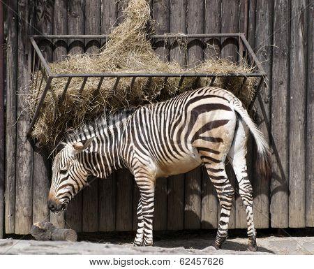 Mountain Zebra Feeding