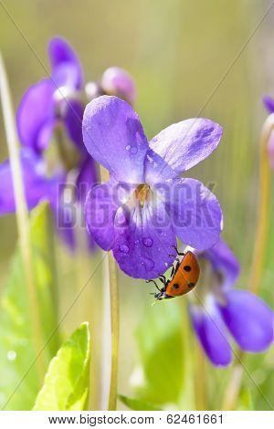 Lady Bug On Viola Odorata Bloom