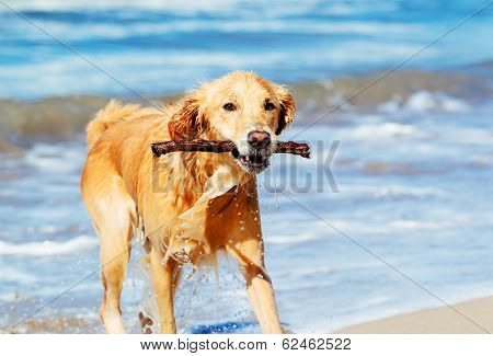 Happy Young Golden Retriever.  Adorable Dog Running on the Beach Fetching Stick