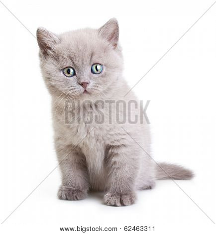 Cat isolated on white background.British Shorthair kitten
