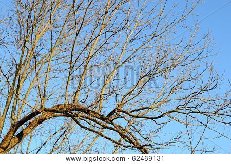 Bare Tree Limbs In Winter Below A Clear Blue Sky