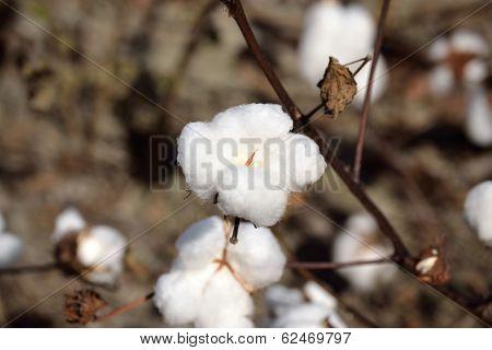 Landscape Cotton Boll On Plant