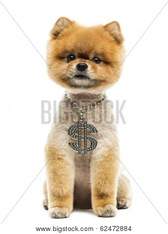 Groomed Pomeranian dog sitting and wearing a dollar necklace