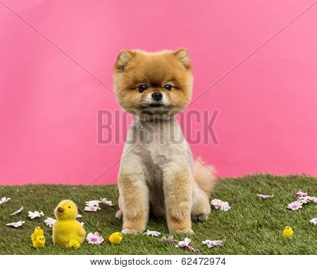 Groomed Pomeranian dog sitting in grass with flowers and chicks in front of a pink background