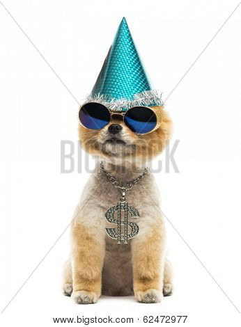 Groomed Pomeranian dog sitting and wearing a dollar necklace, blue sunglasses and a party hat