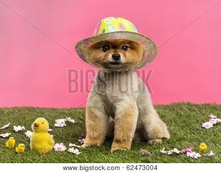 Groomed Pomeranian dog wearing a colored hat and sitting in grass with flowers and chicks in front of a pink background
