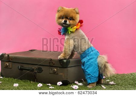 Groomed Pomeranian dog wearing shorts and Hawaiian lei and leaning on an old suitcase on grass in front of pink backgound
