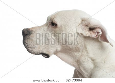 Close-up of a Dogo Argentino looking away