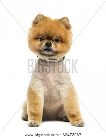Groomed Pomeranian dog wearing a collar, sitting and looking at the camera