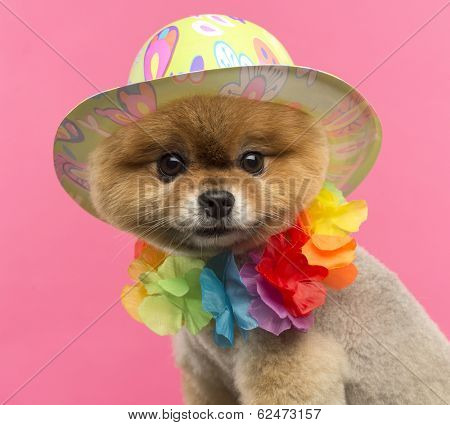 Close-up of a Pomeranian dog wearing a colored hat and a Hawaiian lei in front of a pink background