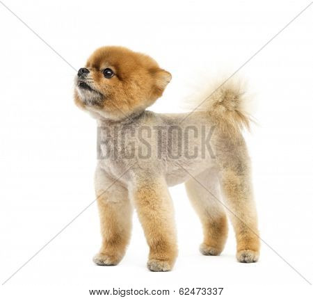 Groomed Pomeranian dog standing and looking up