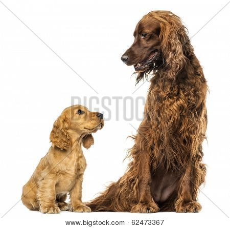English Cocker spaniel puppy looking up at an Irish setter