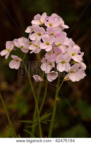Cuckooflower, Also  Known As 'lady's-smock'( Cardamine Pratensis)