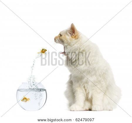 Cat reaching at a goldfish jumping out of its aquarium