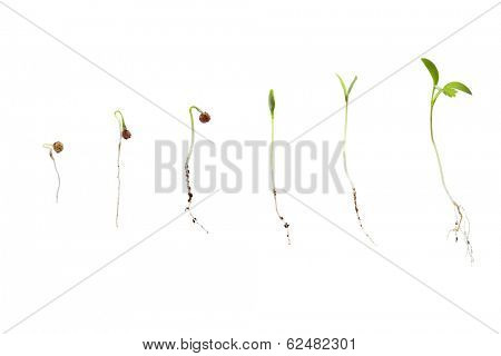 cilantro seed germination isolated on white