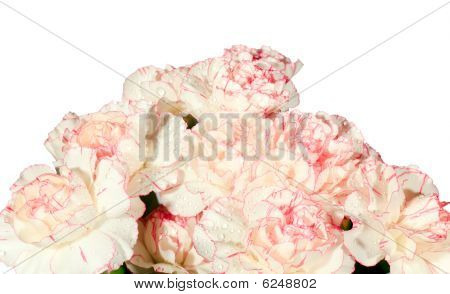 White-pink Carnation Flowers With Dew Drops (isolated)