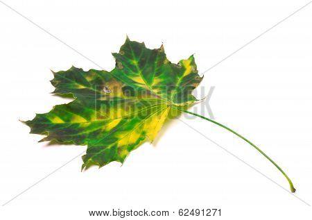 Multicolor Maple Leaf