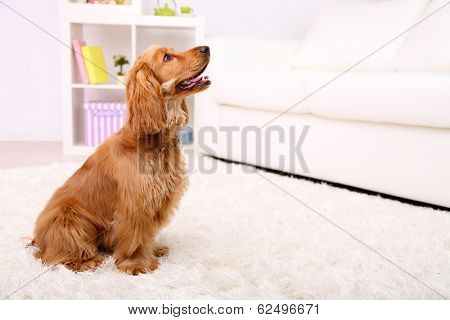 Beautiful cocker spaniel in room