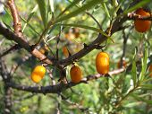 picture of sea-buckthorn  - There are sea - JPG