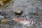 pic of upstream  - humpback salmon fish  going on spawning upstream - JPG
