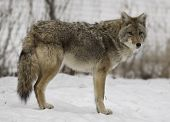 pic of coyote  - A beautiful Coyote sporting its winter coat stands alertly in its enclosure at a Wisconsin wildlife park - JPG