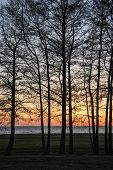 picture of alder-tree  - Alder trees at sunset - JPG