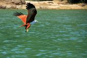 stock photo of langkawi  - Brahminy Kite  - JPG
