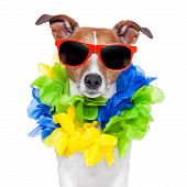 stock photo of loco  - crazy silly brazilian dog with red sunglasses and flower chain - JPG