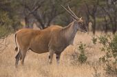 pic of eland  - Lone Eland in open field in Dube nature reserve