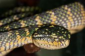 pic of tree snake  - poisonous tree snake bright green and yellow colors - JPG
