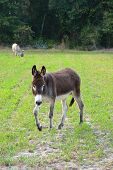Brown Donkey In Field